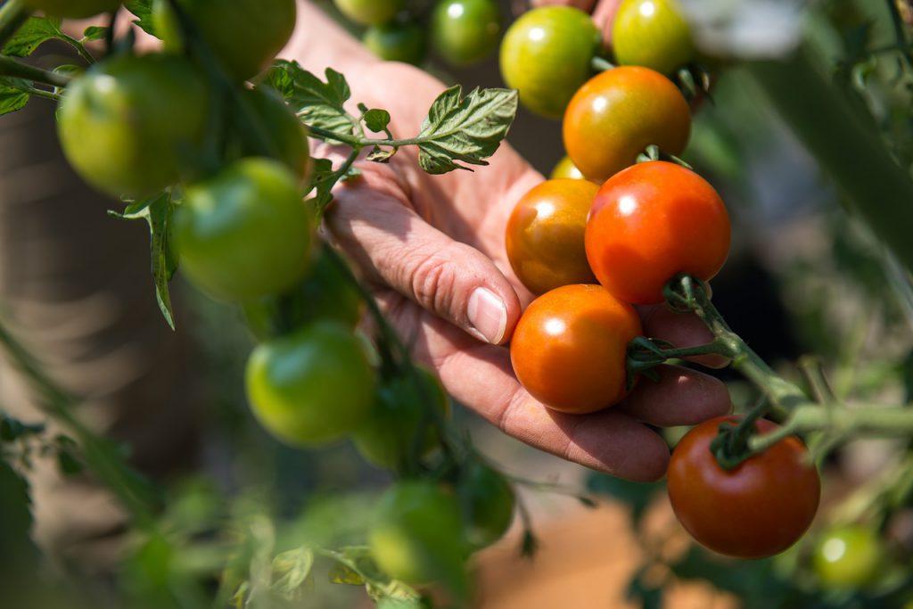 Gardener growing crops in Torbay